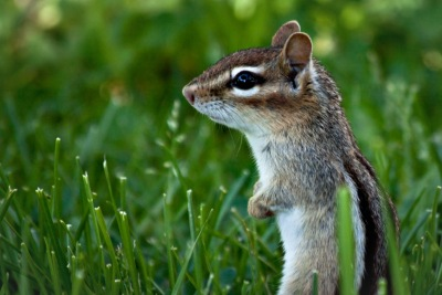 A well-fed chipmunk at High Lonesome Nature Reserve