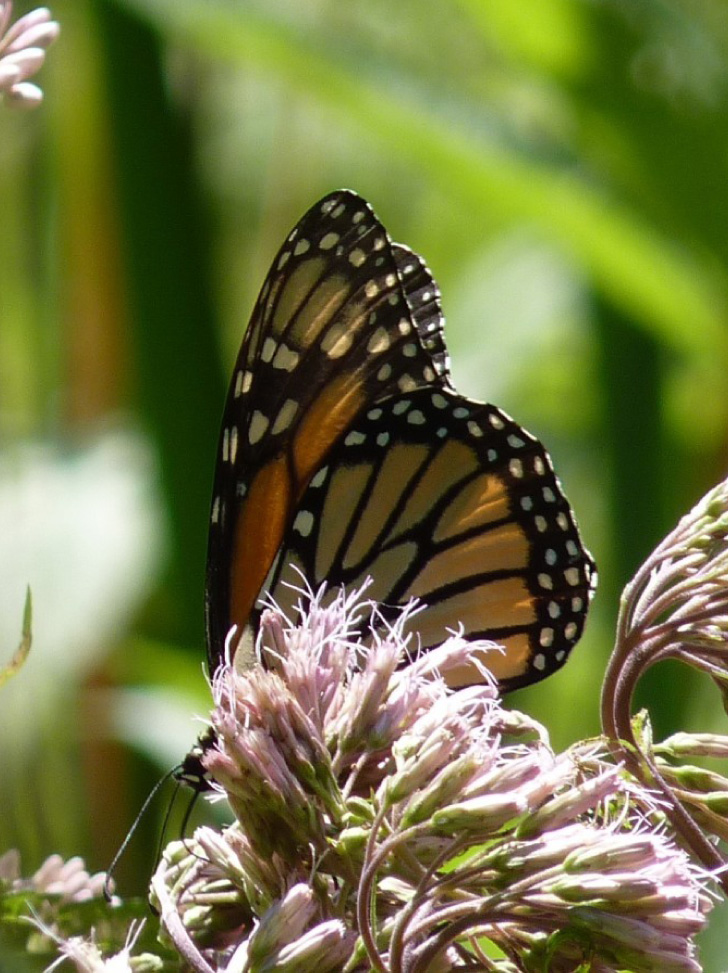 A close-up of a Monarch butterfly on a Milkweed plant