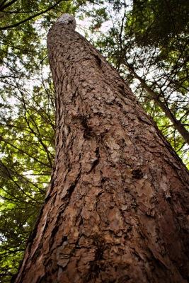A towering Hemlock Tree at Rose Hill Nature Reserve