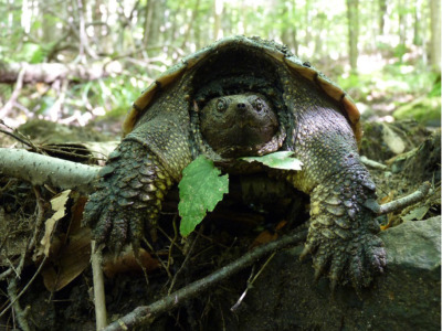 A close-up of a Snapping Turtle