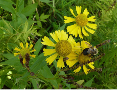 A bumblebee looks for nectar on some Sneezeweed