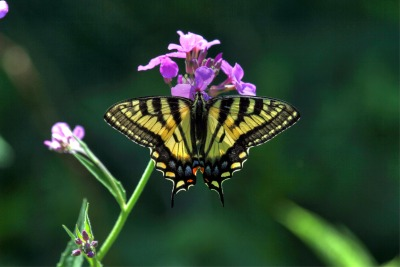 A Canadian Tiger Swallowtail butterfly