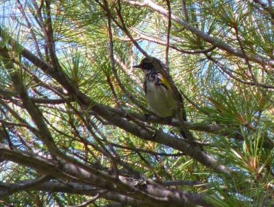 A Myrtle Warbler