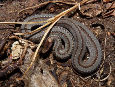 A Red-bellied Snake