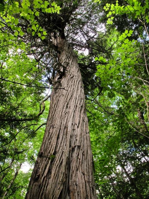 tkmarsh-ancient-cedar